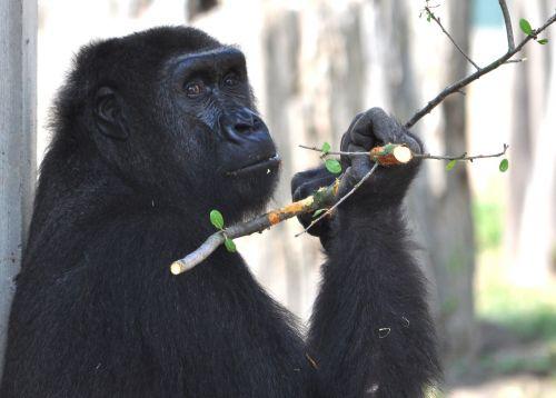 gorilla zoo monkey