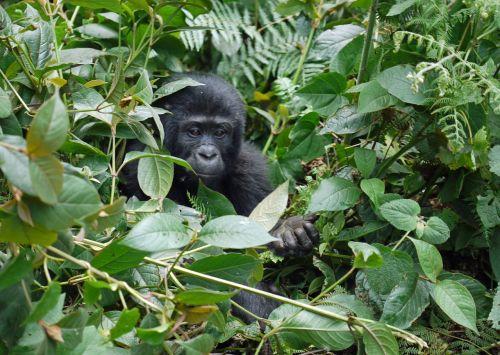 gorilla baby mountain gorilla