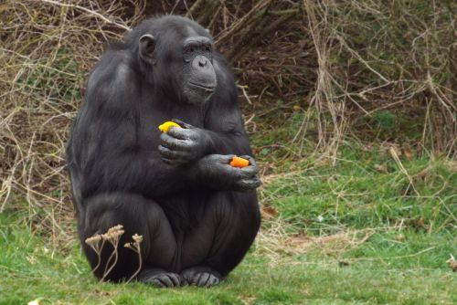 gorilla primate ape