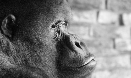 gorilla silverback thinking