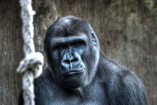 gorilla monkey blijdorp