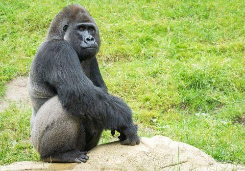 gorilla monkey zoo