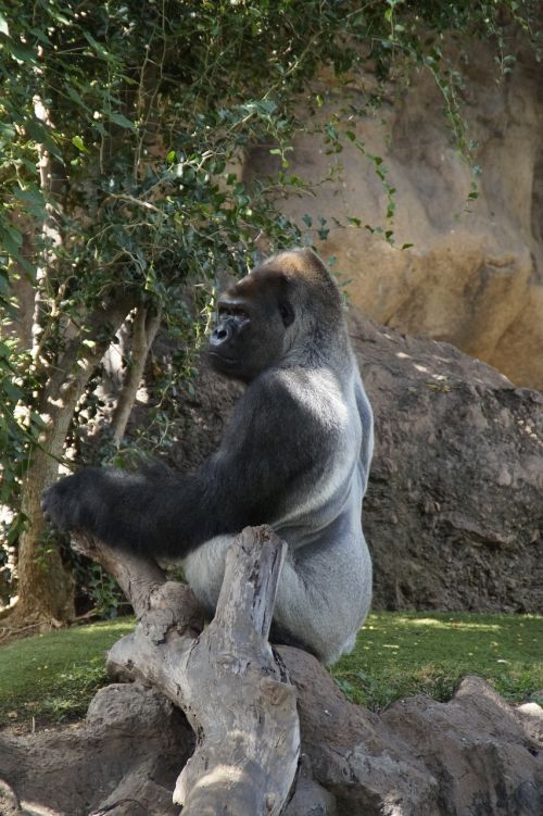 gorilla males a male gorilla