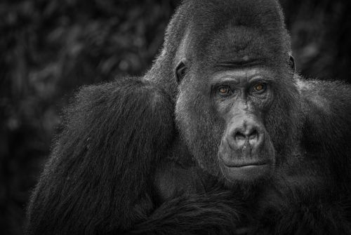 gorilla monkey watch