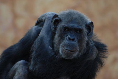 gorilla animal primate
