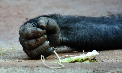 gorilla monkey hand