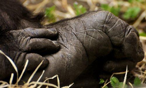gorilla  foot  hand
