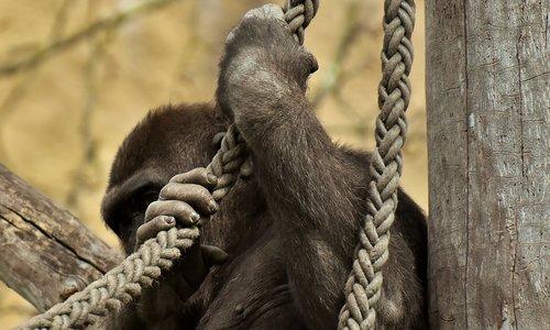 gorilla  hide  funny