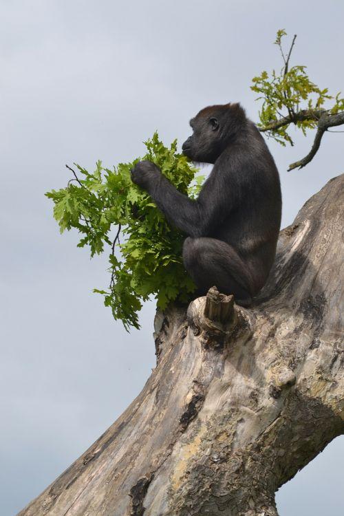 gorilla silverback silverback gorilla
