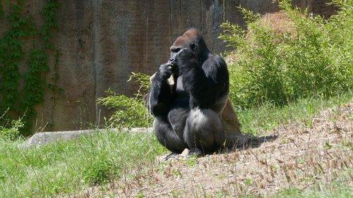 gorilla  ape  threatened