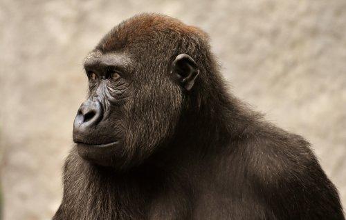 gorilla  monkey  ape