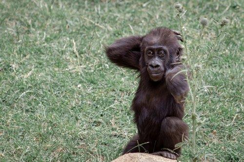 gorilla  ape  gorilla mother