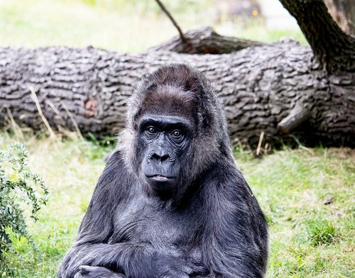 gorilla  animal  mammal