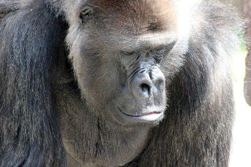 gorilla  ape  strength
