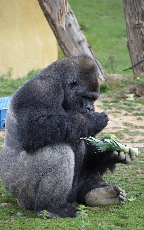 gorilla  primate  monkey