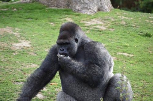 gorilla  monkey  portrait