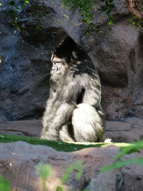 gorilla monkey view