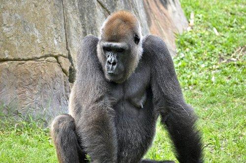 gorilla  animals  ape