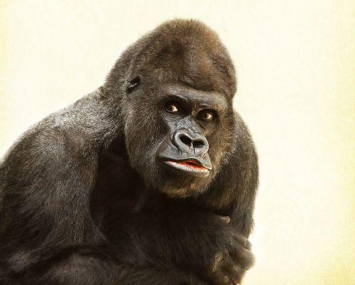 gorilla silverback animal
