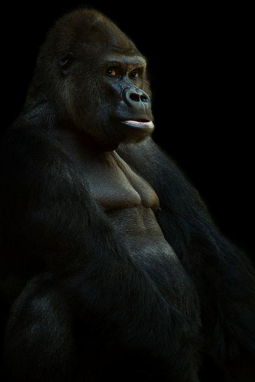 gorilla silverback ape