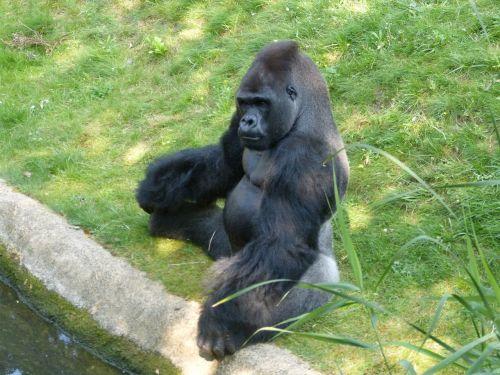 gorilla monkey animal