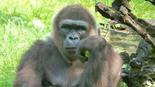 gorilla wait monkey