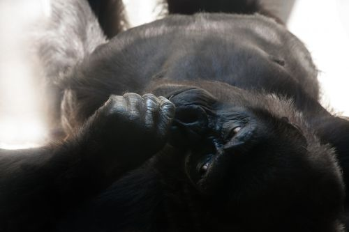 gorilla silverback monkey