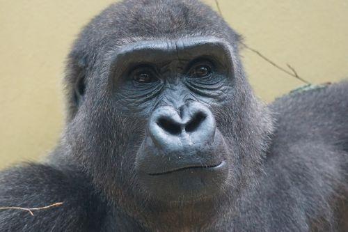 gorilla ape imposing