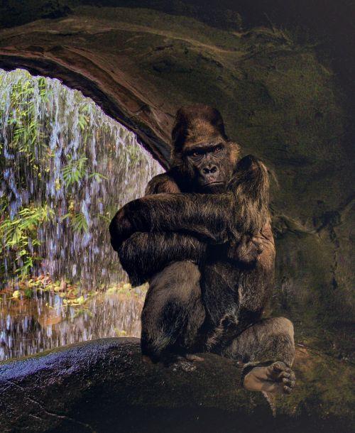 gorilla ape grim