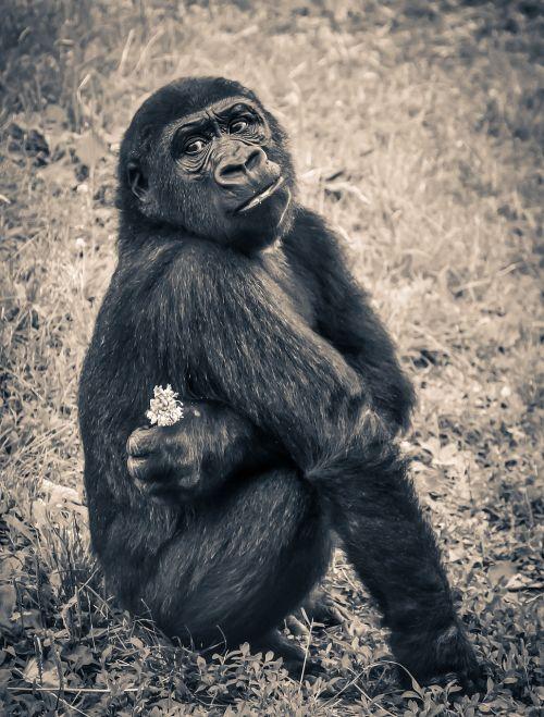 gorilla monkey puppy