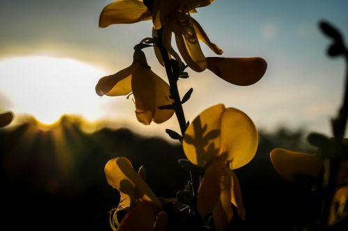 gorse blossom broom back light