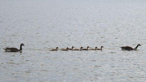 gosling anatidae goose