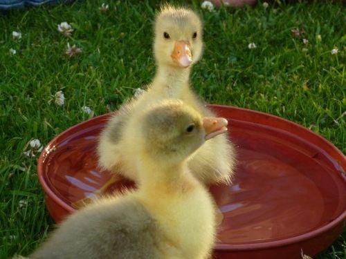 goslings baby geese waterfowl