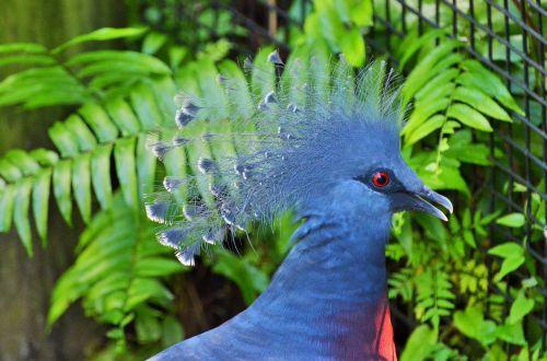 goura crowned blue bird bird