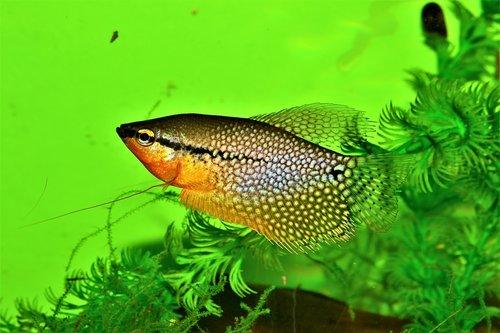 gourami pearl  trichogaster leeri  aquarium