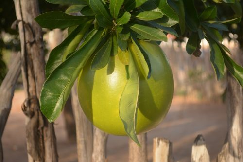 gourd nature porongo