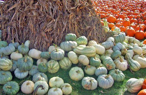moliūgai, moliūgai, foddershock, kukurūzai, stiebai, kritimas, ruduo, Halloween, moliūgai ir moliūgai