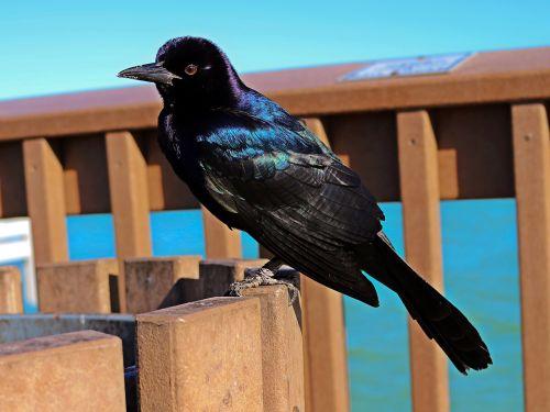 grackle boat-bound quiscalus black bird