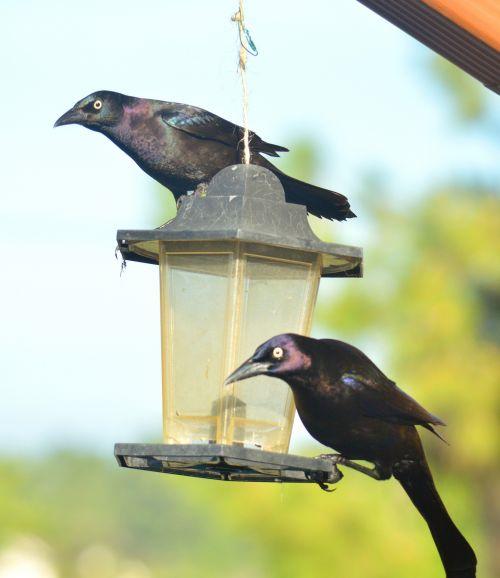 Grackles Blackbirds Bird Feeder