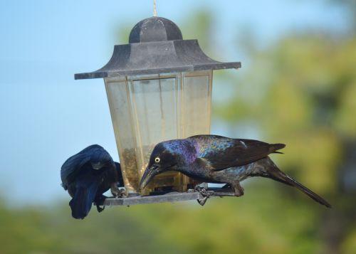 Grackles Blackbirds