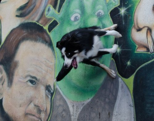 graffiti border collie trick