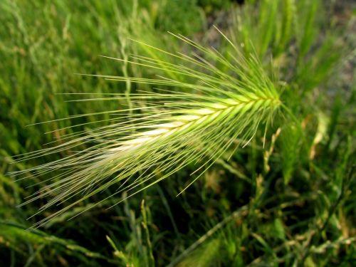 grain ear field crops