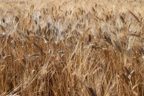 grain wheat wheat field