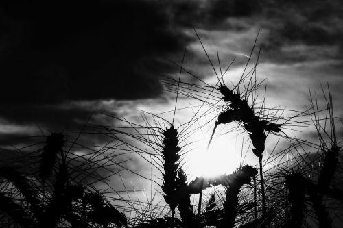 grūdai,kvieciai,rugiai,laukas,kukurūzų laukas,rugių laukas,rugių laukas,kontrastas,šviesa,šešėlis,balta,juoda,saulė,saulėlydis,saulėtekis,dangus,debesys