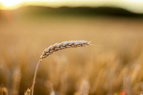 grain cornfield cereals