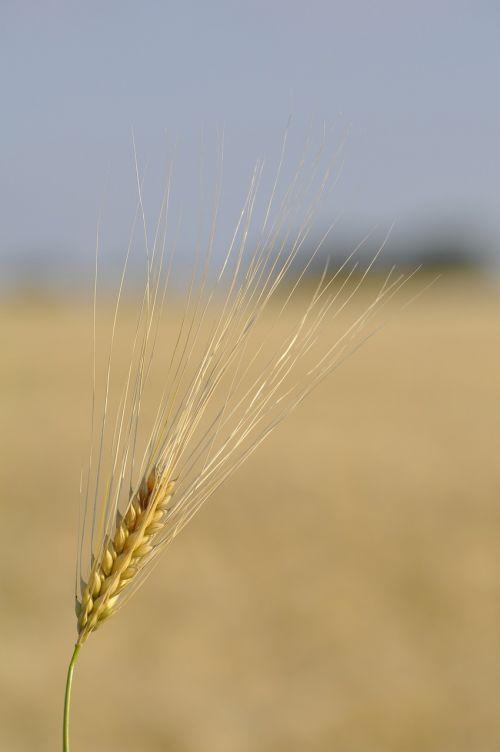 grūdai,kvieciai,laukas,grūdai,spiglys,gamta,maistas,Žemdirbystė,Uždaryti,grūdai,kviečių grūdai,kukurūzų laukas,ariamasis,ary