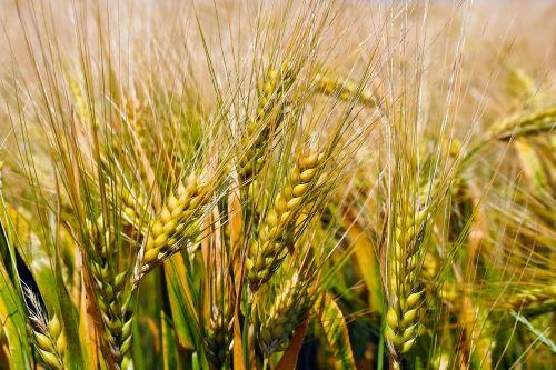 grain cornfield field