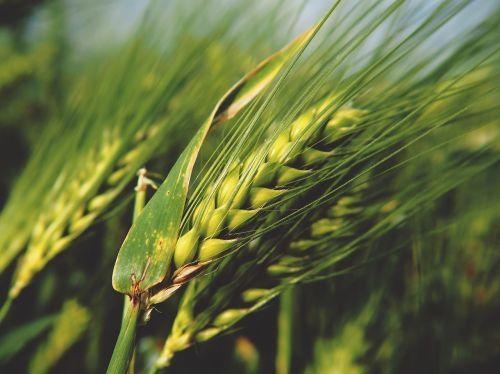 grūdai,kvieciai,rugiai,gamta,grūdai,laukas,spiglys,Žemdirbystė,Uždaryti,maistas,kukurūzų laukas,grūdai,kviečių grūdai