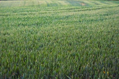 grain  field  nature