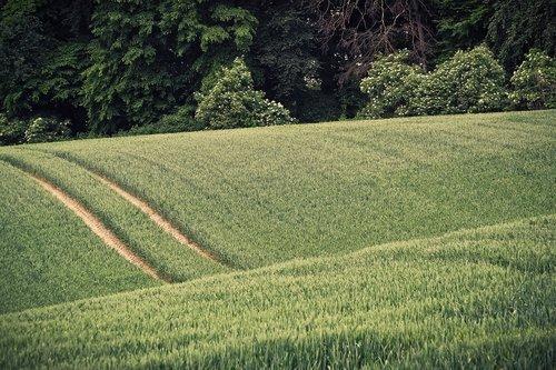 grain  spike  field